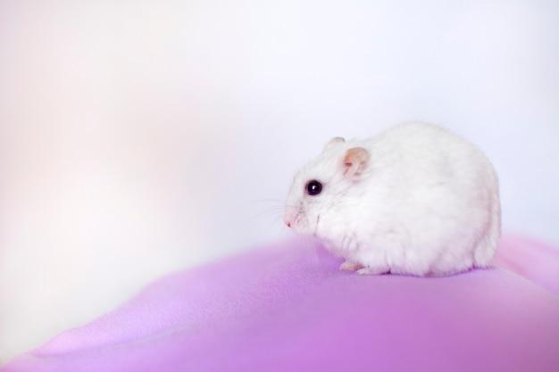 Portret van een witte hamster
