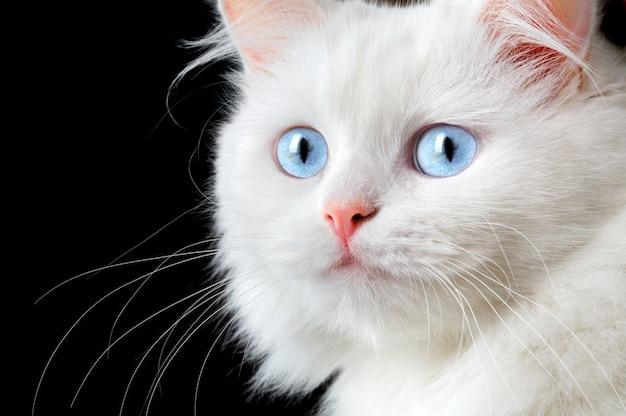Portret van een witte kat.