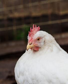 Portret van een witte kip