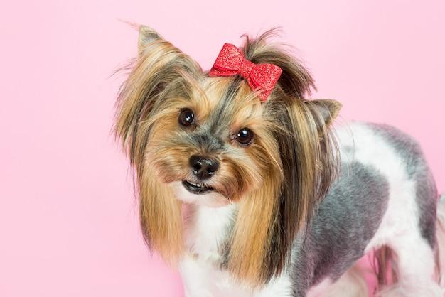 Portret van een yorkshire terrier op roze