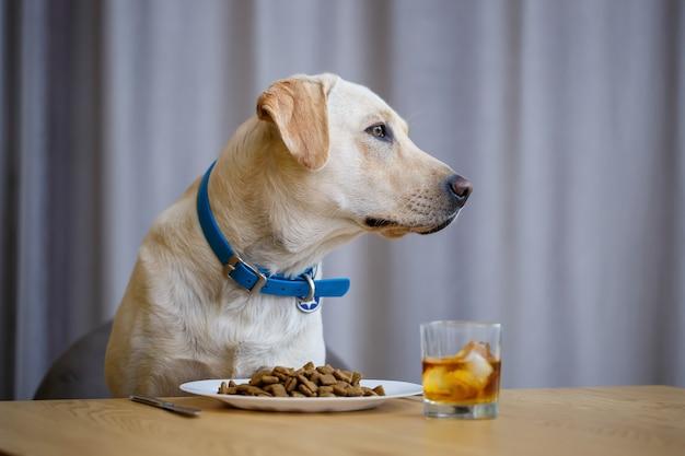 Portret van een zakelijke grote hond van het ras labrador van lichte vacht, zittend op een stoel bij de eettafel, een bord met eten, huisdieren
