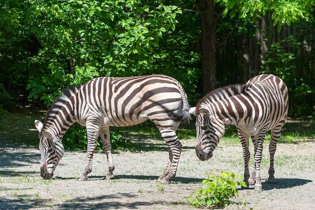 Portret van een zebra close-up. (equus quagga)
