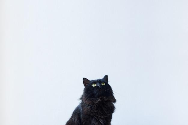 Portret van een zittende zwarte kat die omhoog in een woonkamer kijkt die met een witte muur plaatst als achtergrond. voeg hierboven uw tekst toe.