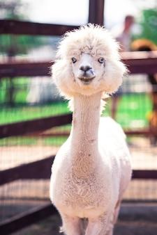 Portret van een zoete witte lama