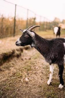 Portret van een zwart witte geit met hoorns achter een hek zijaanzicht landbouw hoge kwaliteit foto