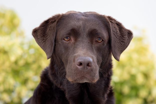 Portret van een zwarte golden retrieverhond