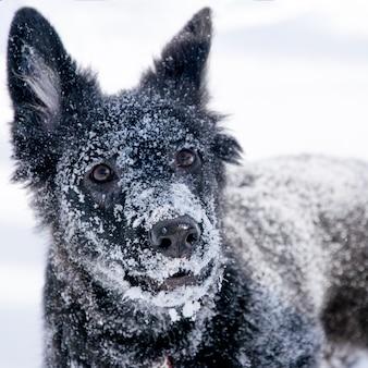 Portret van een zwarte hond in de sneeuw in de winter
