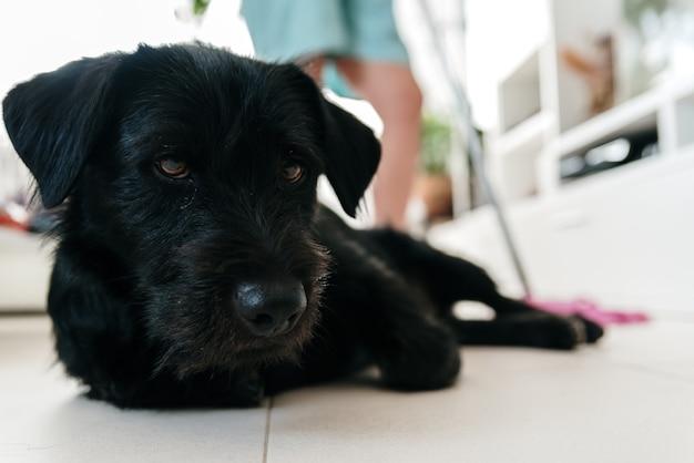 Portret van een zwarte hond op de voorgrond terwijl de vrouw de woonkamer schoonmaakt met een dweil erachter.