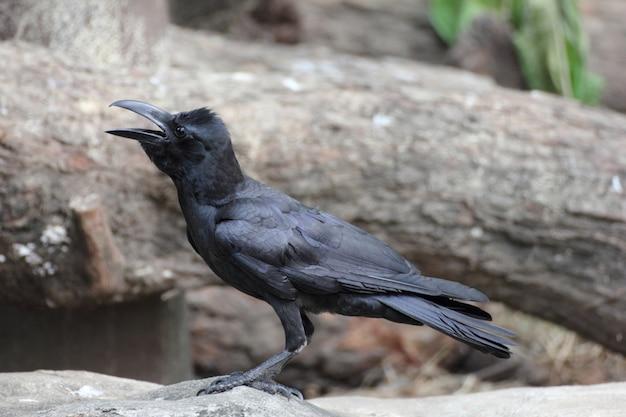 Portret van een zwarte kraai (corone corvus).