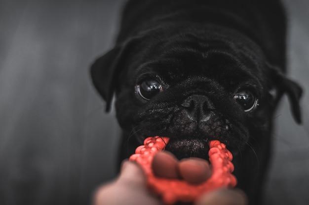 Portret van een zwarte mops hond, in profiel