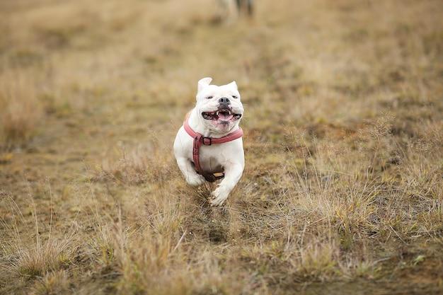 Portret van engelse bulldog die vooruit op het veld loopt en camera bekijkt
