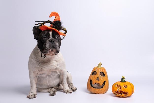 Portret van franse buldog met halloween-hoed en pompoenen op wit