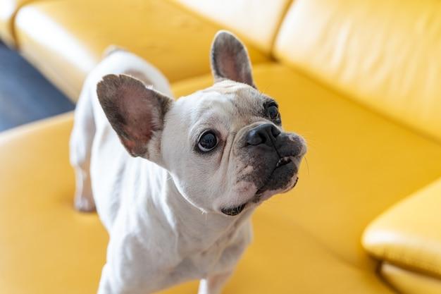 Portret van franse bulldog thuis. horizontale weergave van triest puppy geïsoleerd op gele achtergrond.