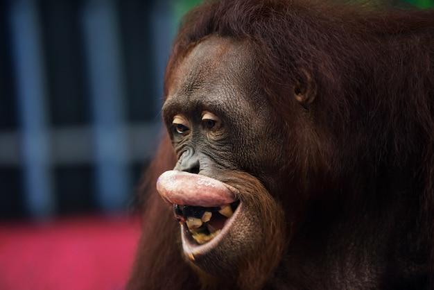 Portret van gelukkig orangoetangeld die (pongo-pygmaeus) met zijn vuile tanden glimlachen