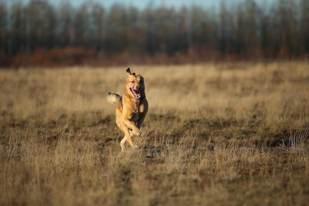 Portret van gelukkige bastaardhond die vooruit op de herfst geel veld loopt
