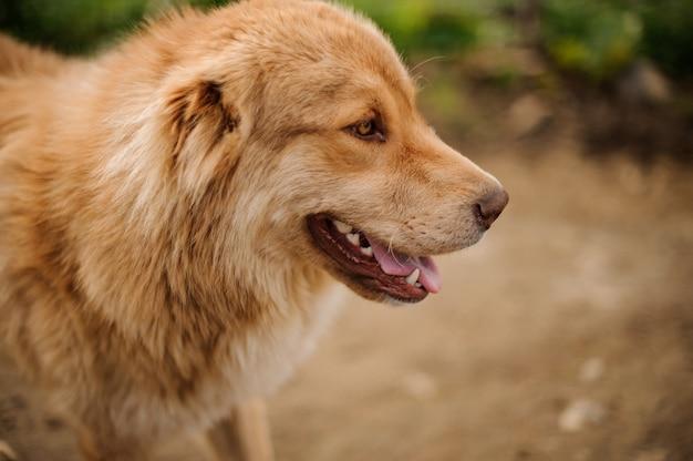 Portret van gelukkige lichtbruine hond die zich buiten bevinden