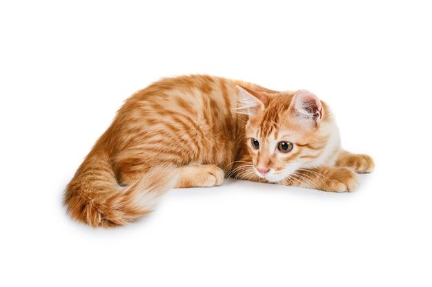 Portret van gemberkat die tegen een witte achtergrond zit