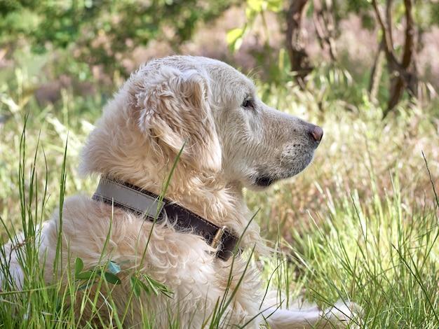 Portret van golden retrieverhond