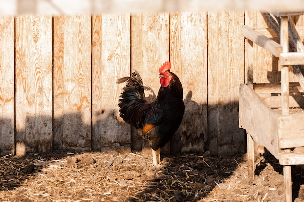 Portret van gouden phoenix-haan met groep binnenlandse kippen die op de boerderij voeden