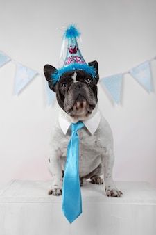 Portret van grappige franse bulldog met blauwe stropdas, partij wimpels en kleurrijke ballonnen over wit.