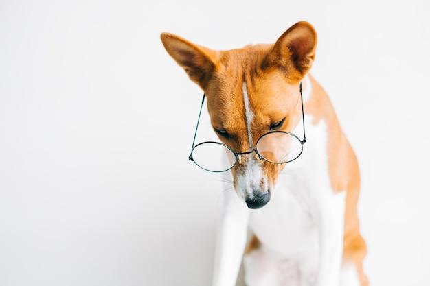 Portret van grappige rode witte basenji hond in brillen op witte achtergrond.