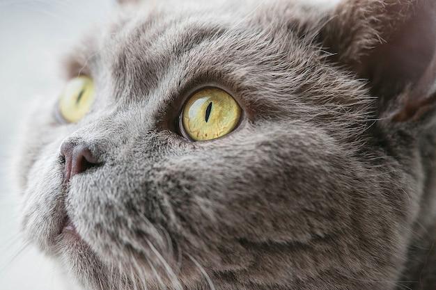 Portret van grijze kat met gele ogen selectieve focus macro