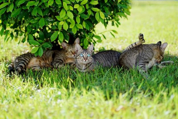 Portret van groeps leuke 3 bruine en grijze gestreepte katkatten die rust comfortabel op groen gras in zon onder struik, één lichtblauwe ogenkat zitten en recht vooruit kijken.
