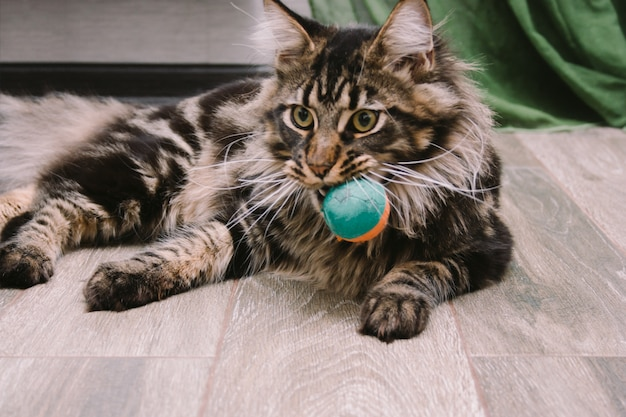 Portret van grote pluizige maine coon die op de vloer met stuk speelgoed bal in zijn mond ligt