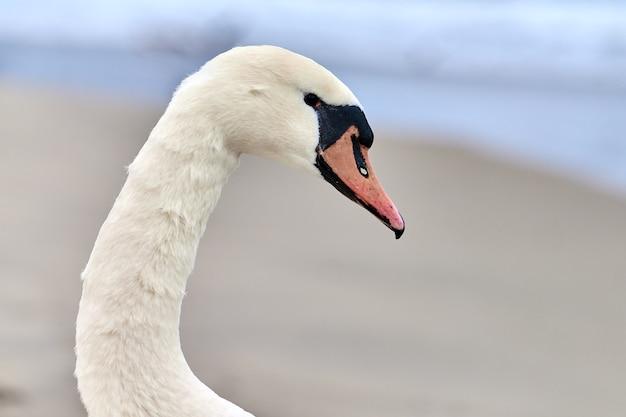 Portret van grote witte knobbelzwaan naast de oostzee, macro. close-up foto van zwanenkop, met details van zijn veren, snavel en ogen.