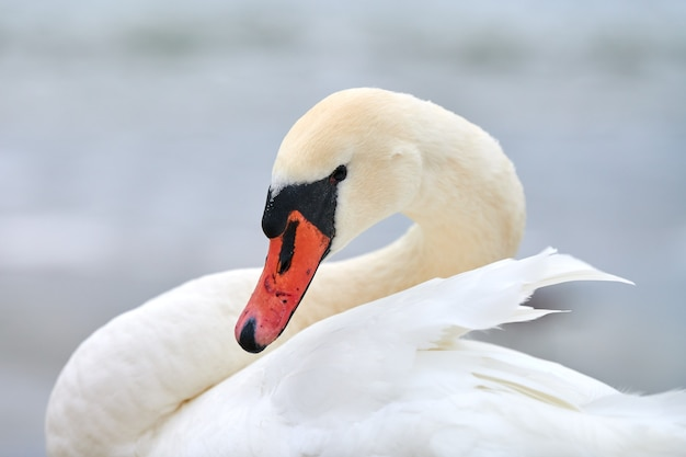 Portret van grote witte knobbelzwaan naast oostzee, macro Premium Foto