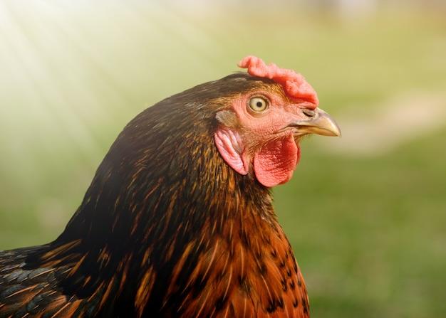 Portret van heldere kleurrijke kip in een vrije uitloop op achtertuin close-up