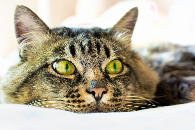 Portret van het gezicht van een donzige grijze cyperse kat met groene ogen ligt op een lichte plaid, kijkt weg,