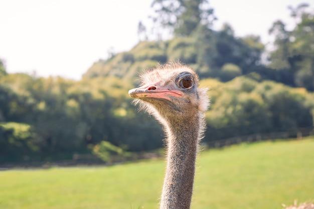 Portret van het hoofd van een struisvogel op de voorgrond