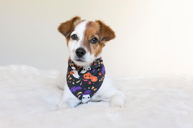 Portret van het jonge leuke kleine hond stellen op bed met een halloween-bandana. binnenshuis