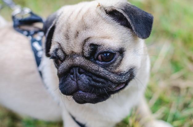 Portret van het knappe mannelijke gezicht van de emotie van gelukkige pug hond.