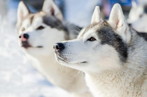 Portret van het twee siberische schor hond openluchtgezicht. sledehonden racen training bij koud sneeuwweer. sterke, schattige en snelle rashond voor teamwerk met slee.