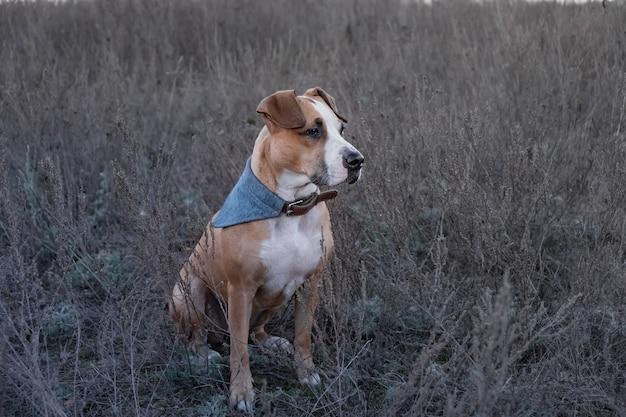 Portret van hond in langzaam verdwijnend de herfstgras. leuke staffordshire terriërhond die in een gebied bij wandeling in de avonduren zit