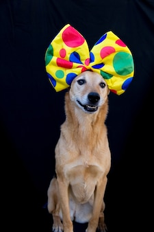 Portret van hond met een grote vlinderdas met kleurrijke stippen op het hoofd, op zwarte achtergrond
