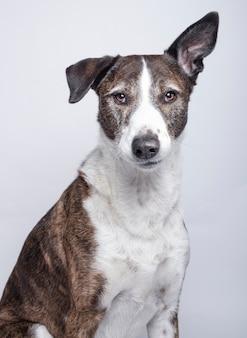 Portret van hond van het ras van podenco ibizan