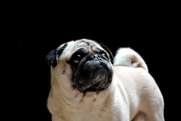 Portret van hondenmug