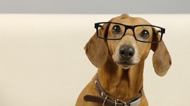 Portret van intelligente teckelhond in een zwarte bril grappig huisdier thuis