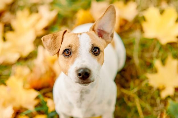 Portret van jack russell terrier op herfst gele esdoorn bladeren close-up