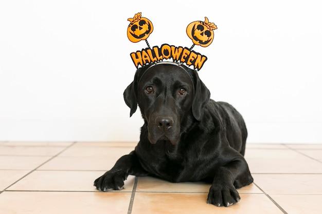 Portret van jong leuk mooi zwart labrador dat een halloween-diadeem draagt. binnenshuis