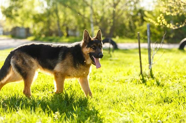 Portret van jonge hondduitse herder bij zonsondergang