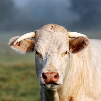 Portret van jonge witte koe op groene weide
