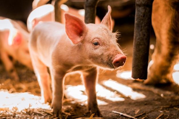 Portret van klein varken in pen