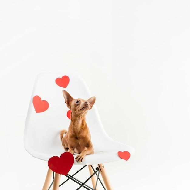 Portret van kleine chihuahua hond zittend op een stoel