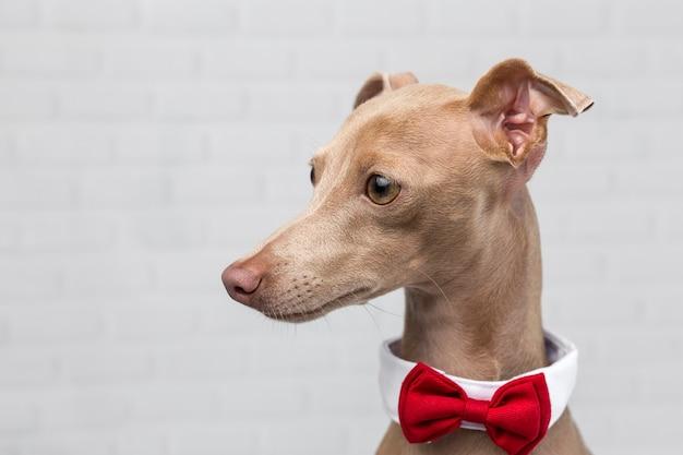 Portret van kleine italiaanse windhond dog.costume