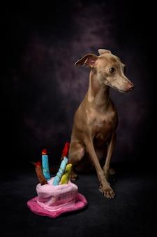 Portret van kleine italiaanse windhondhond. gelukkige verjaardagshoed