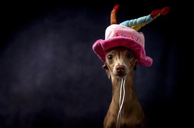 Portret van kleine italiaanse windhondhond met gelukkige verjaardagshoed